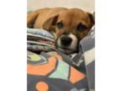 Adopt Cookie a Boxer, Shepherd