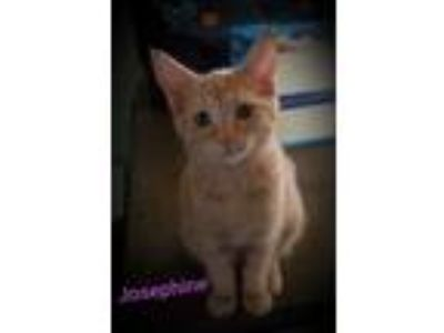 Adopt Josephine - Rare Orange Female a Domestic Short Hair