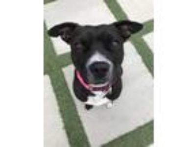 Adopt Ima a Black - with White Pit Bull Terrier / Border Collie / Mixed dog in