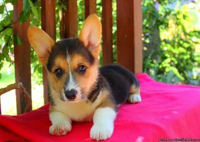 NBVJHJKB Corgi puppies