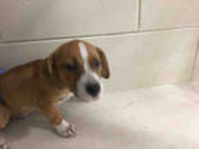 Adopt a Brown/Chocolate - with White Basset Hound / Mixed dog in Winter Haven