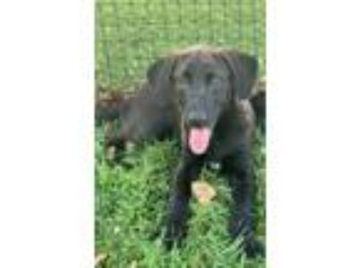 Adopt Jonah a Brown/Chocolate - with White Labrador Retriever / Border Collie /