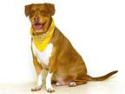 Adopt JIFFEE a Brown/Chocolate Basset Hound / Doberman Pinscher / Mixed dog in