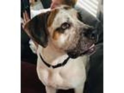 Adopt Bolt a Brown/Chocolate - with White Great Dane / Hound (Unknown Type) /