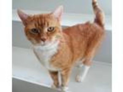 Adopt Boo a Domestic Short Hair