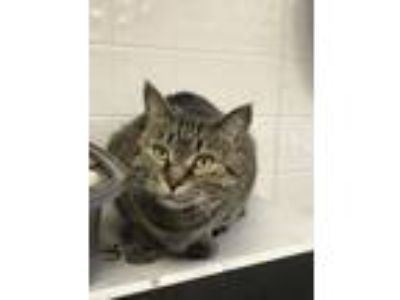 Adopt Prada a Domestic Short Hair