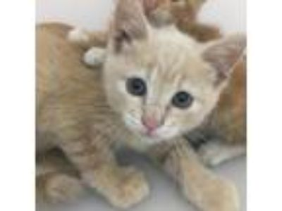Adopt Que-88373 a Tan or Fawn Tabby Domestic Shorthair cat in Las Cruces
