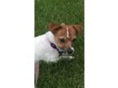 Adopt Sunshine a White - with Red, Golden, Orange or Chestnut Jack Russell