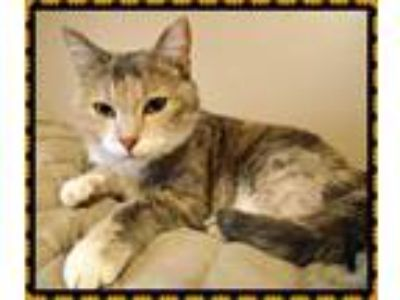 Adopt Isabella a Domestic Shorthair / Mixed (short coat) cat in Valley Park