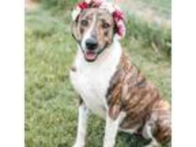 Adopt Pauline a Brindle Mountain Cur / Catahoula Leopard Dog / Mixed dog in