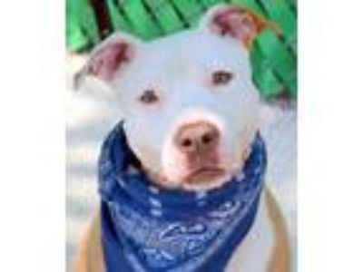 Adopt Ginger Bean *URGT* NEEDS IMMED FOSTER* a American Staffordshire Terrier