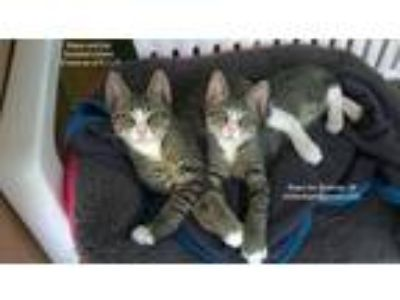 Adopt Hope and Joy a Gray, Blue or Silver Tabby Domestic Shorthair / Mixed