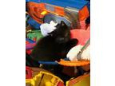 Adopt Chance a Black (Mostly) Domestic Shorthair (short coat) cat in Loogootee