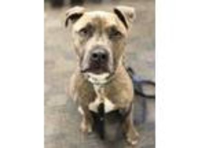 Adopt Toby a Brindle - with White American Pit Bull Terrier / Mixed dog in