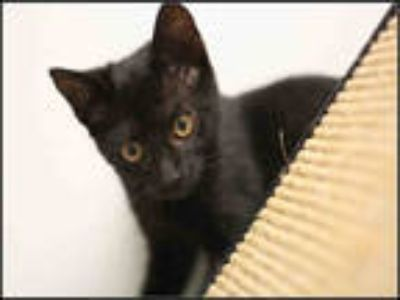 Adopt MAISIE a All Black Domestic Shorthair / Mixed (short coat) cat in Plano