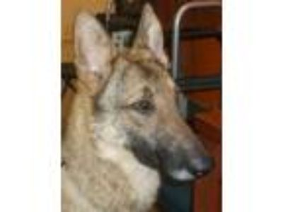 Adopt Raina a German Shepherd Dog