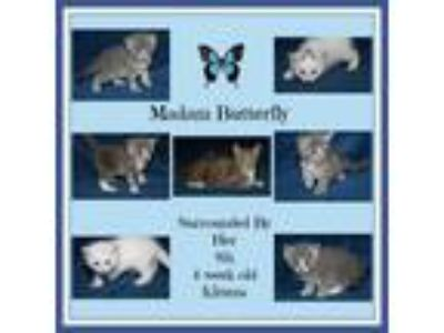 Adopt Madam Butterfly & Kittens (Combo Tested) - In Foster Care a Domestic Short
