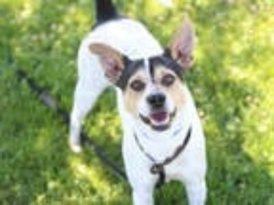 Adopt a Tricolor (Tan/Brown & Black & White) Rat Terrier / Mixed dog in San