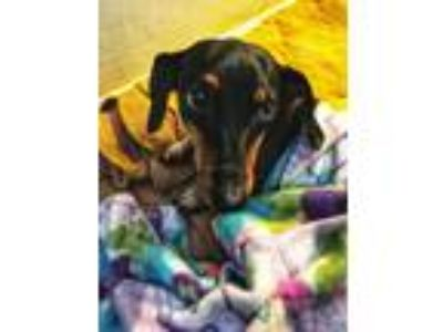 Adopt Reagon a Black - with Tan, Yellow or Fawn Dachshund / Mixed dog in