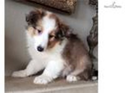 Sheltie Puppy! adorable girl microchipped