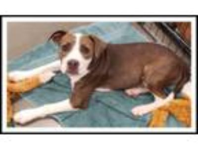 Adopt TAYLOR a Brown/Chocolate - with White Pit Bull Terrier / Mixed dog in
