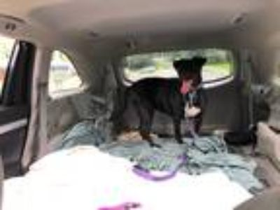 Adopt Lady annabelle a Black Labrador Retriever / Mixed dog in Bristol