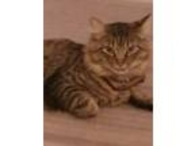 Adopt Tiger a Spotted Tabby/Leopard Spotted Domestic Mediumhair / Mixed cat in