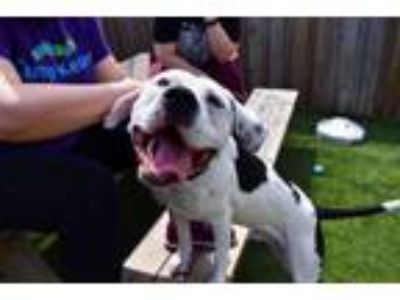 Adopt Billy Jr. a Pit Bull Terrier, Mixed Breed