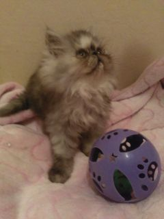 9 week old CFA Persian kittens ready for loving homes