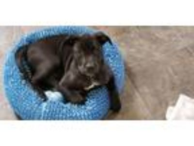Adopt Nuka a Pit Bull Terrier
