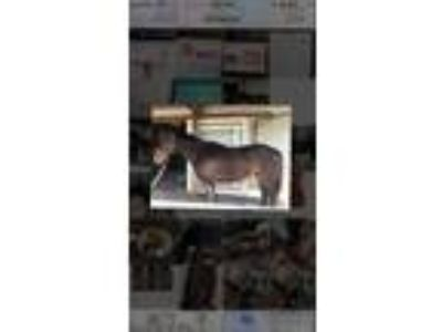13 YO Thoroughbred Gelding for sale in Athens Ga