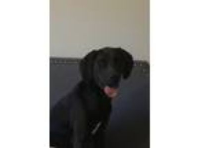 Adopt Bandit a Black Labrador Retriever / Coonhound dog in Rapid City