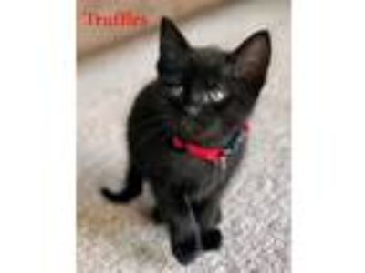 Adopt Truffles a All Black Domestic Shorthair (short coat) cat in Merrifield