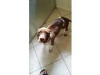 Adopt Kharma a Pit Bull Terrier