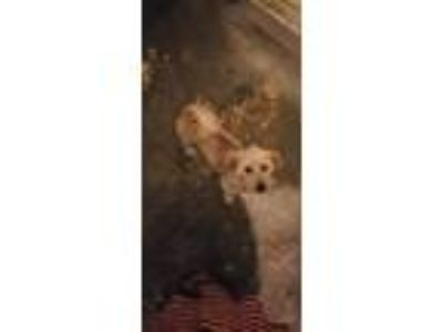 Adopt Frankie a Tan/Yellow/Fawn Terrier (Unknown Type, Medium) / Mixed dog in