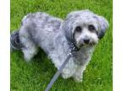 Adopt Molly - Courtesy Listing a Poodle, Shih Tzu