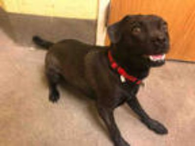 Adopt ROCKY a Black Pug / Mixed dog in Upper Marlboro, MD (25876350)