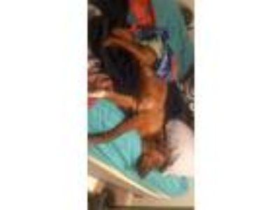 Adopt Dodger a Brown/Chocolate Labrador Retriever / Mixed dog in North