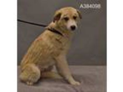 Adopt a White - with Tan, Yellow or Fawn Labrador Retriever / Great Pyrenees /