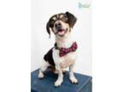 Adopt Boris a Black Jack Russell Terrier / Beagle / Mixed dog in New Orleans