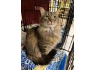 Adopt Duchess a Brown Tabby Domestic Longhair (long coat) cat in Barrington
