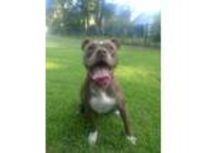 Adopt Harley a Red/Golden/Orange/Chestnut American Pit Bull Terrier / Mixed dog