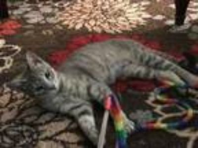 Adopt ARGENT a Domestic Short Hair