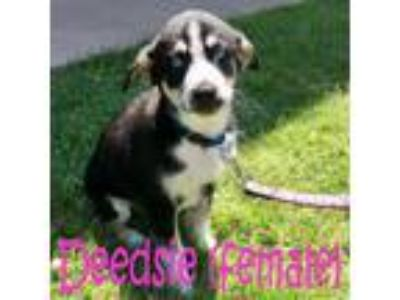 Adopt Deedsie a Husky, Border Collie