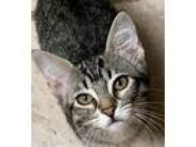 Adopt Rachel a Brown or Chocolate Domestic Shorthair cat in Fresno