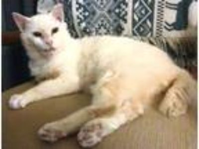 Adopt Will-O a White Domestic Shorthair (short coat) cat in Lebanon
