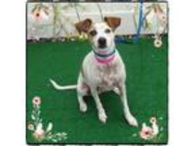Adopt CLOE a White - with Red, Golden, Orange or Chestnut Rat Terrier / Mixed
