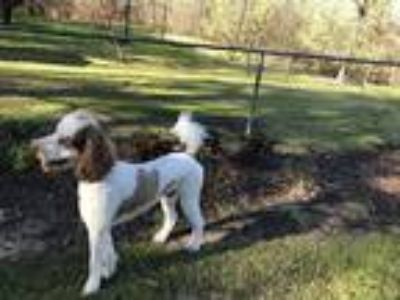 Adopt Beignet a White - with Brown or Chocolate Poodle (Standard) dog in