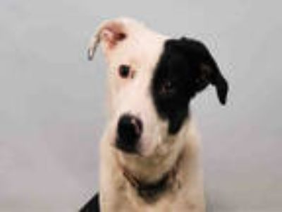 Adopt RASCAL a White - with Black Border Collie / Mixed dog in Loveland