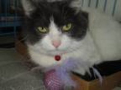 Adopt Sprinkles a Domestic Medium Hair